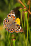 Common Buckeye Royalty Free Stock Photography