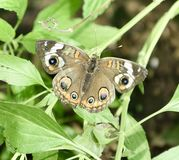 Common Buckeye Stock Image