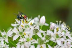 Common Bug on Cilantro Flowers stock image