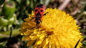 Free Common Bug Drinking Nectar Royalty Free Stock Photography - 178966477