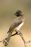 Common bulbul Stock Images