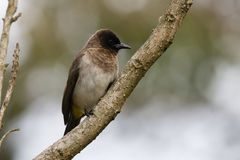 Common Bulbul Stock Photography