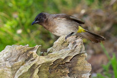 Common Bulbul Royalty Free Stock Photography