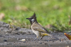 Common bulbul bird. The Common Bulbul bird in an Indian forest Stock Image