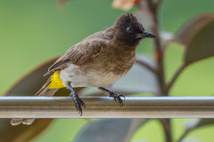Common Bulbul, Close-up. The Common Bulbul is a small bird, 7' (18cm), with brownish upperparts and a black head and throat, that blends into its brown chest Stock Photography