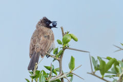 Common Bulbul, Eating Fruit Stock Images