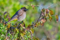 Common Bulbul, Perched. Common Bulbul (Pycnonotus barbatus) aka Dark-capped Bulbul.  In the north of Kenya, this bird features a white neck patch and tips on the Royalty Free Stock Image