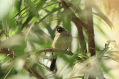 Common bulbul Royalty Free Stock Photo