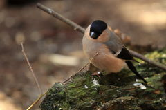 Common bullfinch Stock Photo