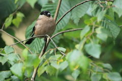 Common bullfinch Royalty Free Stock Image