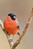 Common Bullfinch, Pyrrhula pyrrhula Stock Images
