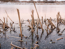 Common Bulrush Frozen in Ice in Sweden Royalty Free Stock Image