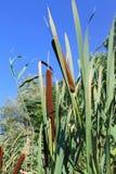 Common bulrush (Typha latifolia) Royalty Free Stock Photos