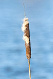 Common bulrush or Typha latifolia in late spring with water in b Royalty Free Stock Photos