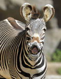 Common or burchells zebra,kenya ,africa Royalty Free Stock Images