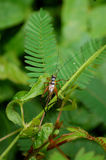 Common Bush Cricket on Forest Fern Leaves in Jungle. The large Common Bush Cricket (Nisitrus Vittatus) resting on fern leaves in the rainforest of Danum Valley Royalty Free Stock Photography
