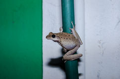 Common Bush Frog Stock Images