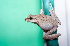 Common Bush Frog Stock Photography
