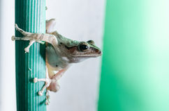 Common Bush Frog Stock Photos