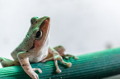 Common Bush Frog Royalty Free Stock Photography