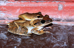 Common Bush Frog Royalty Free Stock Photos