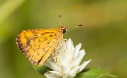 Common bush hopper butterfly Stock Image
