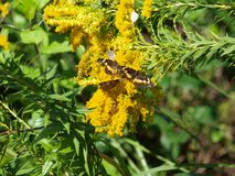 Common Butterflies and Bees on Goldenrod Stock Photography