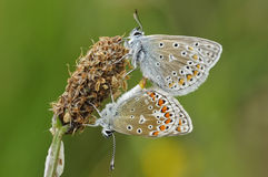 Common Butterfly Blue - Pair mating Royalty Free Stock Photography