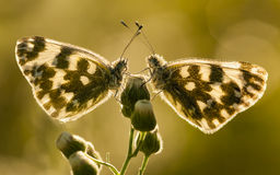 Common butterfly covered with dew drops Stock Photography