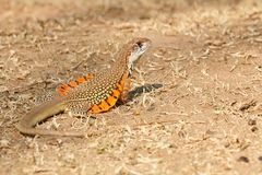 Common butterfly lizard. /Butterfly agama Leiolepis belliana ssp. ocellata in the nature. Taken from Thailand, Southeast Asia royalty free stock photography