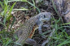 Common butterfly lizard at Huai Kha Khaeng wildlife sanctuary Royalty Free Stock Photography