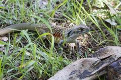 Common butterfly lizard at Huai Kha Khaeng wildlife sanctuary Stock Photos