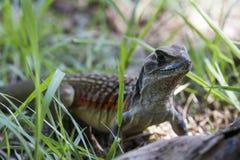 Common butterfly lizard at Huai Kha Khaeng wildlife sanctuary Stock Photography