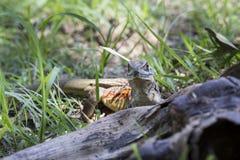 Common butterfly lizard at Huai Kha Khaeng wildlife sanctuary Royalty Free Stock Photos