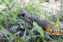 Common butterfly lizard at Huai Kha Khaeng wildlife sanctuary Stock Image