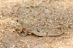 Common Butterfly Lizard Leiolepis Belliana Royalty Free Stock Photography