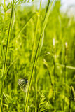 Common butterfly sitting on the grass. Butterfly (Green-veined white, Pieris napi) of the family Pieridae sitting on the grass stock image