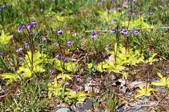 Common Butterwort (Pinguicula vulgaris) plants Royalty Free Stock Image