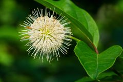 Common Buttonbush - Cephalantus occidentalis. Close up of a white Common Buttonbush flower. Also known as Button-willow and Honey-bells. Todmorden Mills Park royalty free stock image
