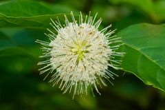 Common Buttonbush - Cephalantus occidentalis. Close up of a white Common Buttonbush flower. Also known as Button-willow and Honey-bells. Todmorden Mills Park royalty free stock photo