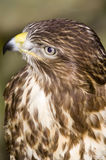 Common Buzzard. Looking at the viewer Royalty Free Stock Photos