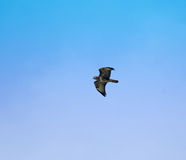 Common Buzzard 2 Royalty Free Stock Images