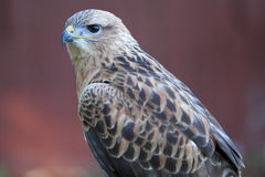 Common buzzard Royalty Free Stock Photo
