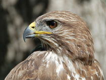 Common Buzzard. Portrait stock photos