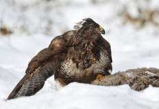 Common buzzard. Protects his find from others Stock Photography