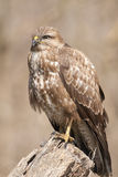 Common Buzzard Royalty Free Stock Photos
