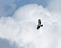 Common Buzzard against Clouds Stock Photos