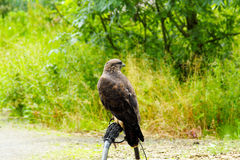 Common Buzzard beautiful portrait with green natural background Royalty Free Stock Images