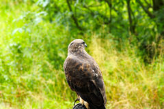 Common Buzzard beautiful portrait with green natural background Royalty Free Stock Image