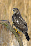 Common buzzard bird Royalty Free Stock Images